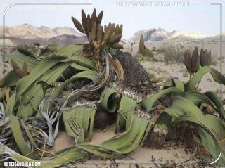 Planta Welwitschia Gigante