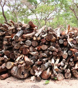 IDF desencoraja abate indiscriminado de árvores