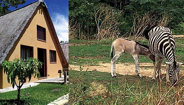 Zebru Pulu, um animal raro, resultante do cruzamento entre um burro e uma zebra © Fotografia por: Edições Novembro