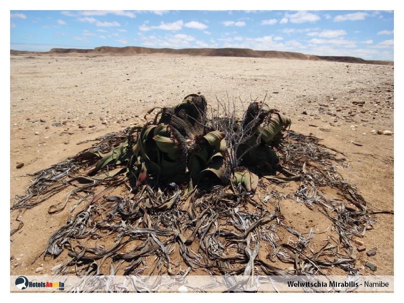 welwitschia-mirabilis-002.jpg