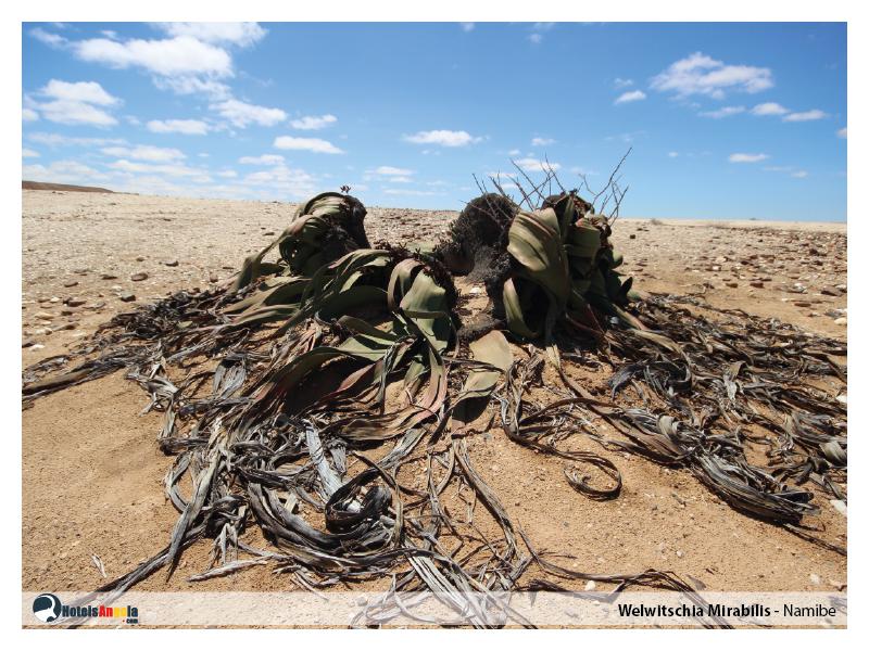welwitschia-mirabilis-003.jpg