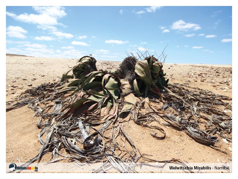 welwitschia-mirabilis-004.jpg
