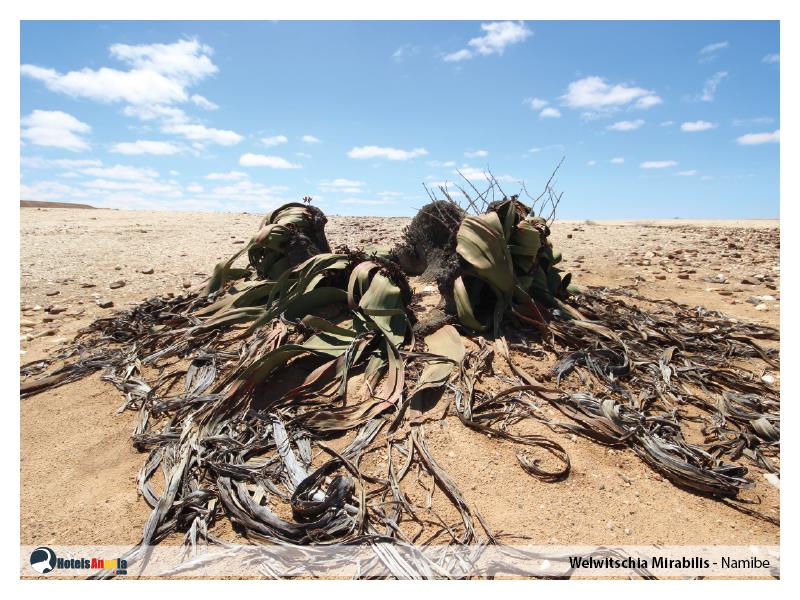 welwitschia-mirabilis-005.jpg