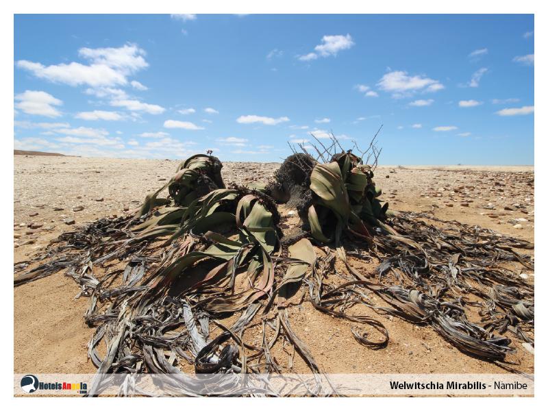 welwitschia-mirabilis-006.jpg