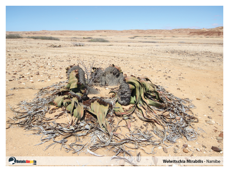 welwitschia-mirabilis-007.jpg