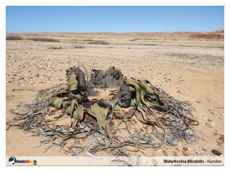 welwitschia-mirabilis-008.jpg