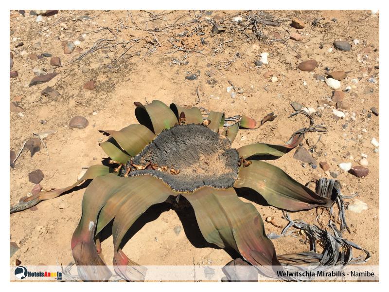 welwitschia-mirabilis-012.jpg