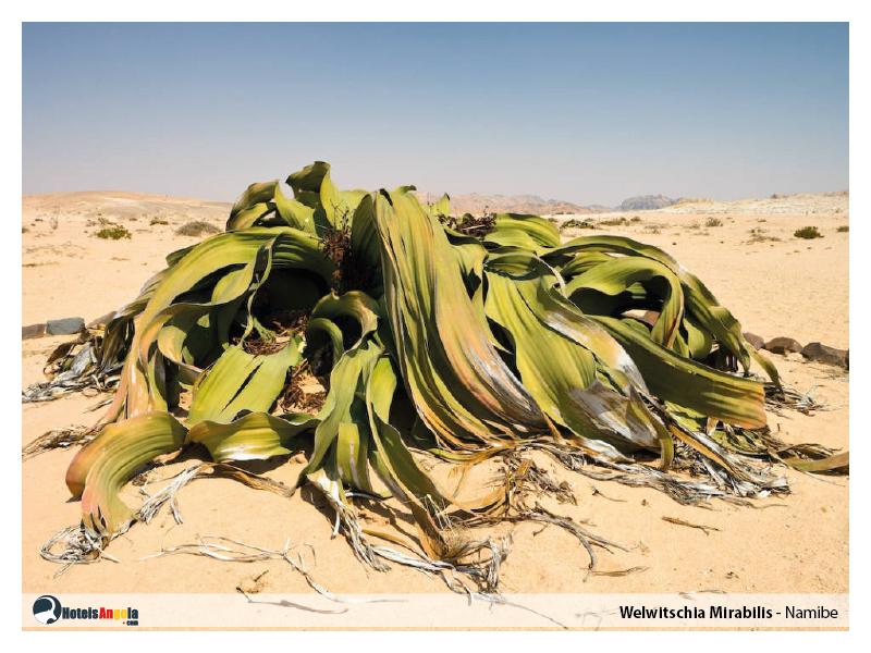 welwitschia-mirabilis-013.jpg